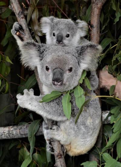 AusProof adopted Koalas